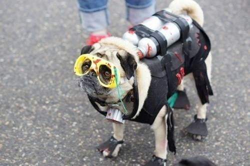 The Pug's Halloween Costumes That Made Them The Most Attractive At The Party - http://weloveourpugs.net/pugs-halloween-costumes-made-attractive-party/