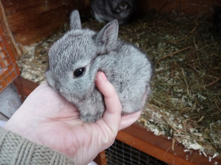 Brighteyes Bunnies | Netherland Dwarf Rabbits