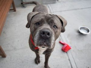 ♡ SAFE ♡ BABY BEAR – A1116402  **SAFER : EXPERIENCED HOME / NO YOUNG CHILDREN**  MALE, GR BRINDLE, MASTIFF MIX, 3 yrs STRAY – AVAILABLE, NO HOLD Reason STRAY Intake condition UNSPECIFIE Intake Date 06/24/2017, From NY 11208, DueOut Date 06/27/2017
