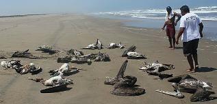 Mass Deaths Pelicans
