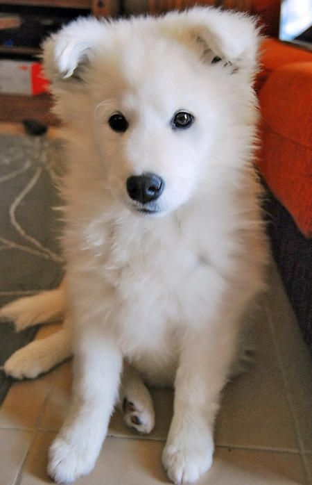 Beautiful Samoyed dog sitting on the floor...click on picture to see more