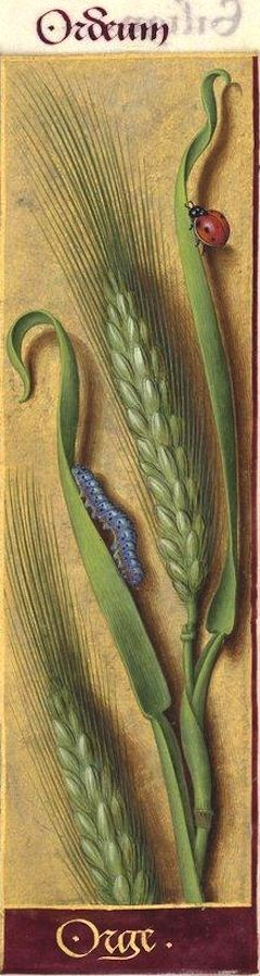 Orge - Ordeum (Hordeum vulgare L. = orge, escourgeon) -- Grandes Heures d'Anne de Bretagne, BNF, Ms Latin 9474, 1503-1508, f°94r