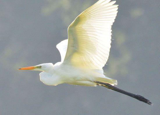 White egret | Juvenile Big White Egret | Birds - White ...