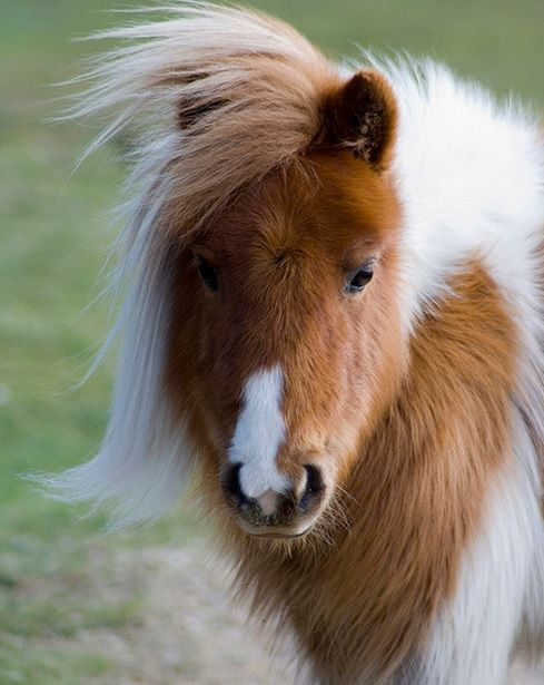 I absolutely adore Shetland ponies too. They're so fuzzy, and we originate from the same place.