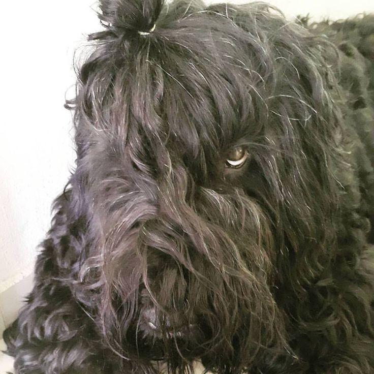Black russian terrier   terrier ruso negro