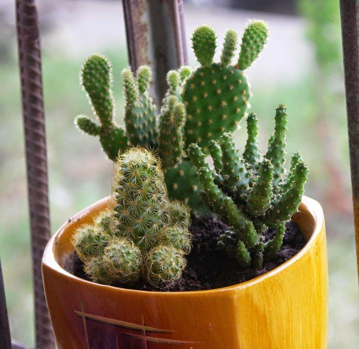 Kwiaty w domu i ogrodzie: Kaktusy lubią towarzystwo -:)