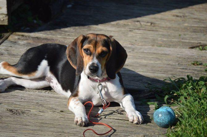 Dog And Pig S Weekly Playdate 2020 Beagle Dog Beagle Dog