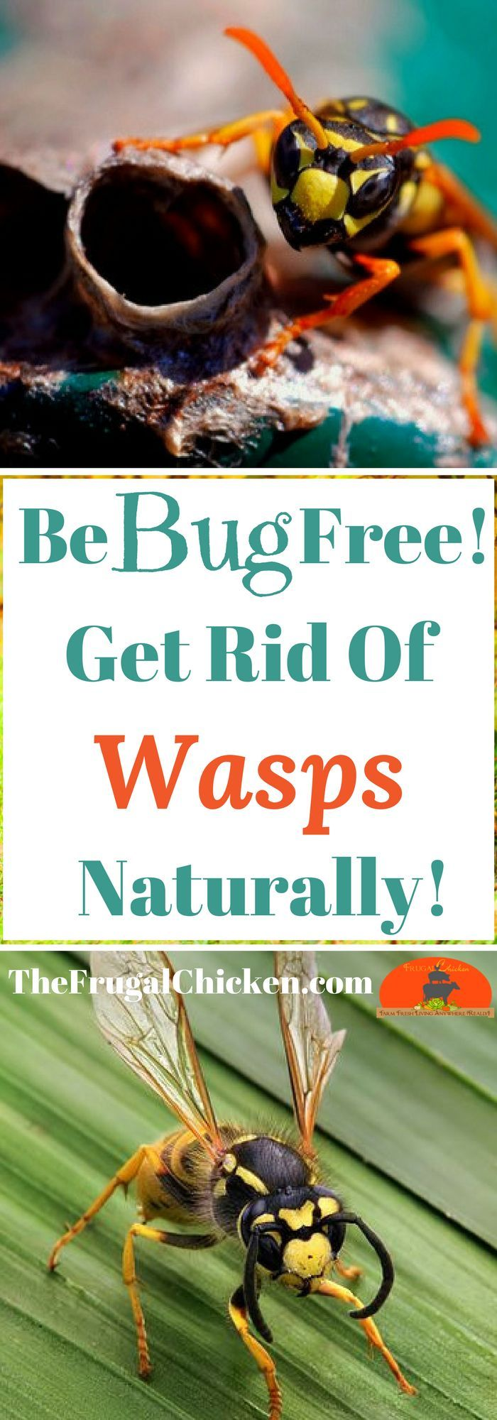 Wasps are annoying...but you don't want to expose your kids and dogs to dangerous chemicals, right? Here's how to get rid of wasps naturally, using all organic methods.