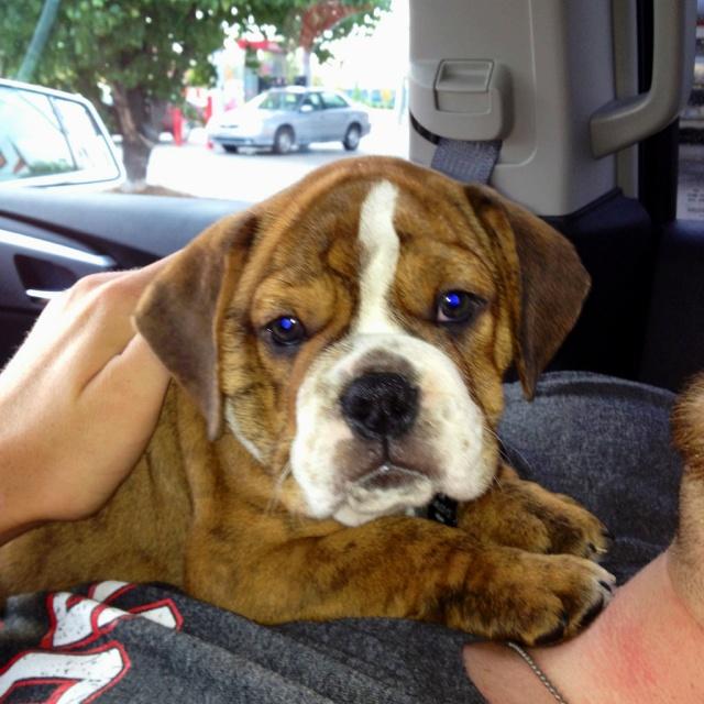 My bulldog beagle mix Chevy :): Bulldog Beagle, Beagle Mix Must, Dog ...