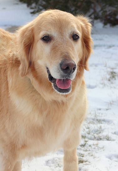 The Davinci Foundation for Animals RESCUE ACROSS THE NATION:OH This is Joanie - 8 yrs. She is a former breeder girl. She is spayed, current on vaccinations, potty trained good with dogs. She is in foster and learning to live indoors. She does not know how to do stairs. No kids under age 8 yrs. Golden Retriever Rescue Resource, OH. - http://www.gr-rescue.org/golden_retrievers_for_adoption_3.html#.VLQwCivF_tY
