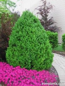 Check out Everplanta.com for info on evergreen trees, low maintenance plants, or anything on plants!