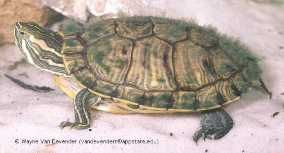 Trachemys scripta | The Reptile Database