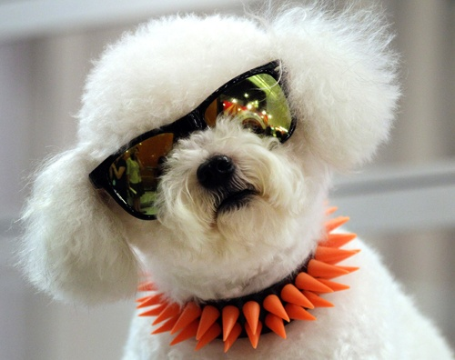 Punk poodle (Sakchai Lalit / AP): Bangkok, Happy Friday, Pet, Bichon Frise, Poodle Color Pink, Animal Track, Wear Sunglasses, Photo Galleries, Dogs Wear