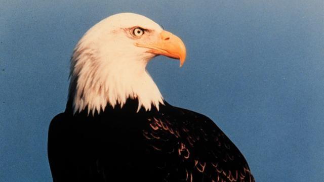 Amerikaanse zeearend ontsnapt uit Brits vogelpark   NU - Het laatste nieuws het eerst op NU.nl