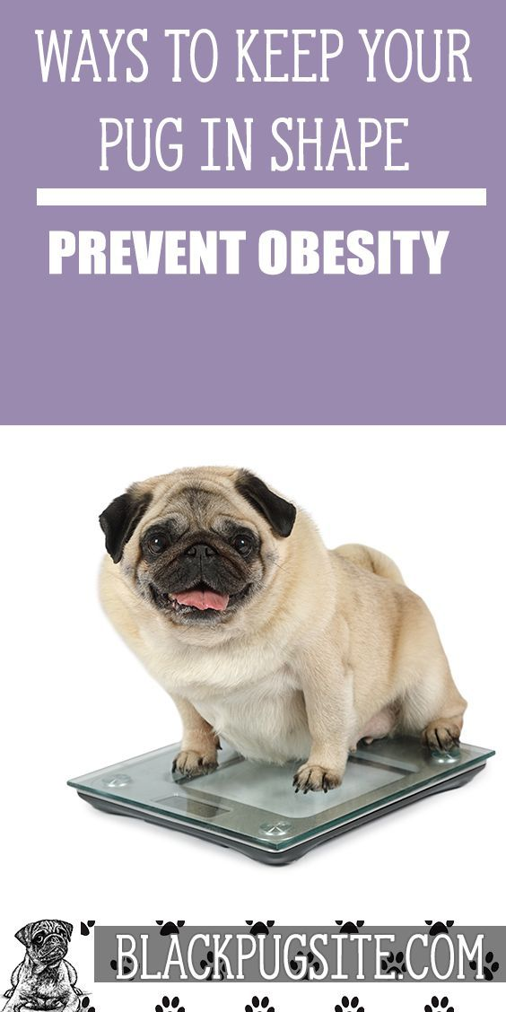 How Much Should A Pug Weigh Are You Overfeeding Your Pug Find