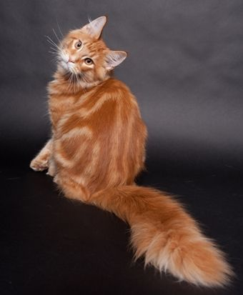 Maine Coon, Red Tabby Blotched (d 22). IC. Calimero vom Schwingbach