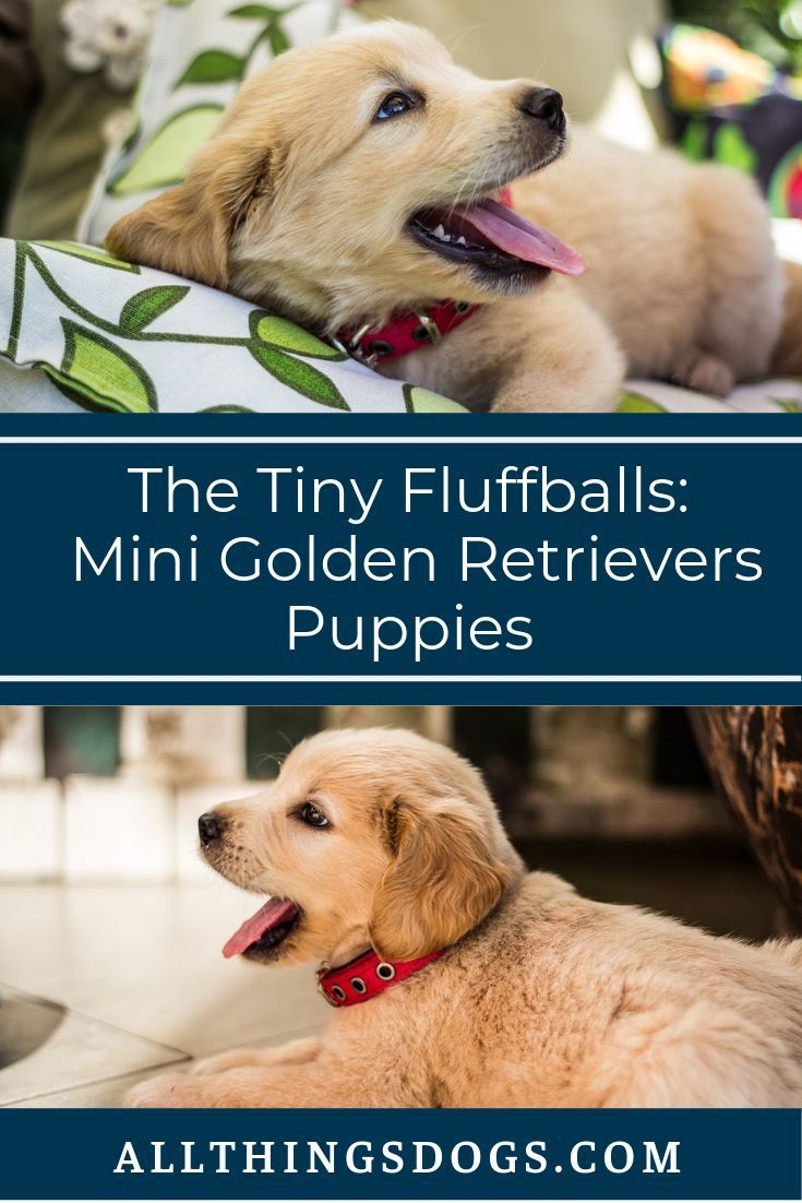Mini Golden Retriever Puppies Are Absolute Fluffballs And A Dream