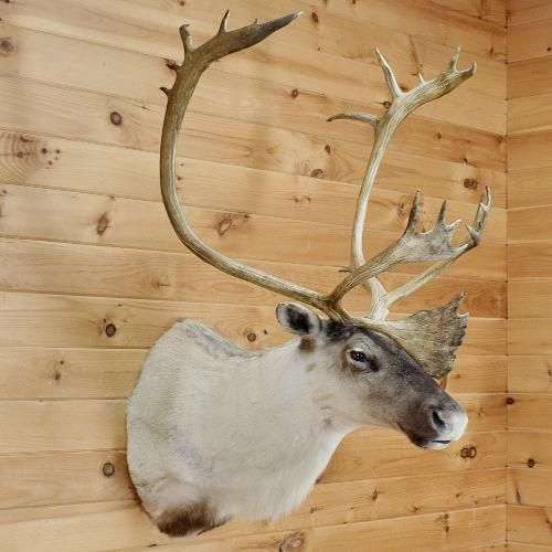 Caribou Taxidermy for Sale