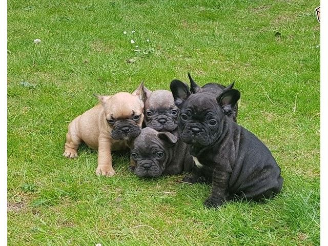 Gorgeous French Bulldog Puppies Bulldog Puppies French Bulldog