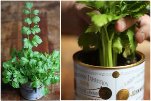 Growing Celery Indoors: Never Buy Celery Again - this is going to be fun!