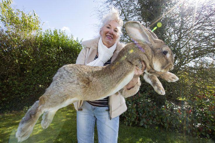 自分の目を疑いたくなる巨大ウサギは、最高のペットだ(画像)