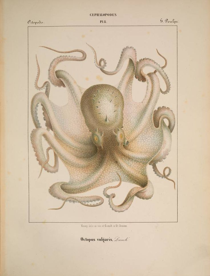 Depiction of the common octopus, a mollusk identified by the author in the Mediterranean Sea,