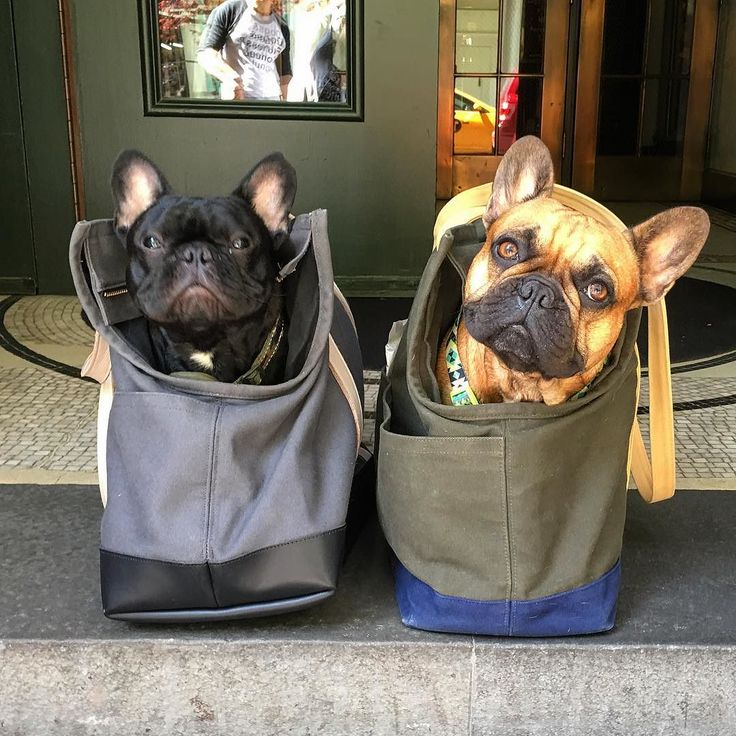 'Bat Pigs in Bags', French Bulldogs