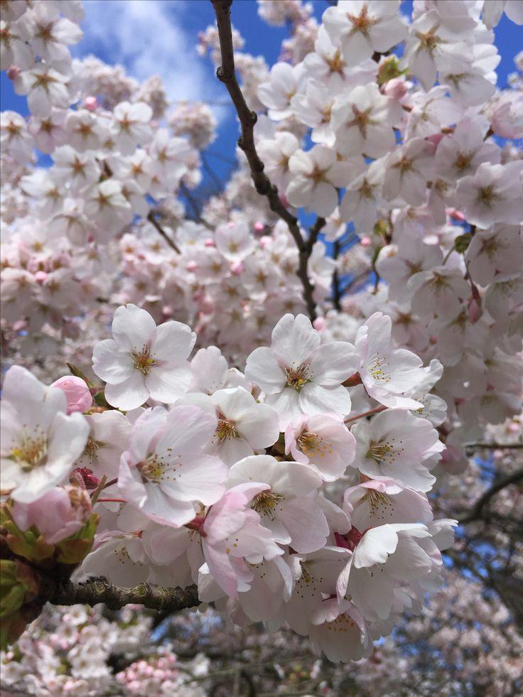 Japansk kirsebær photo by Honning og Flora