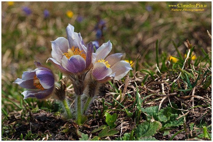 Pulsatilla vernalis, fiori di montagna, alpini, fotografia, foto, alpine flowers, dolomiti