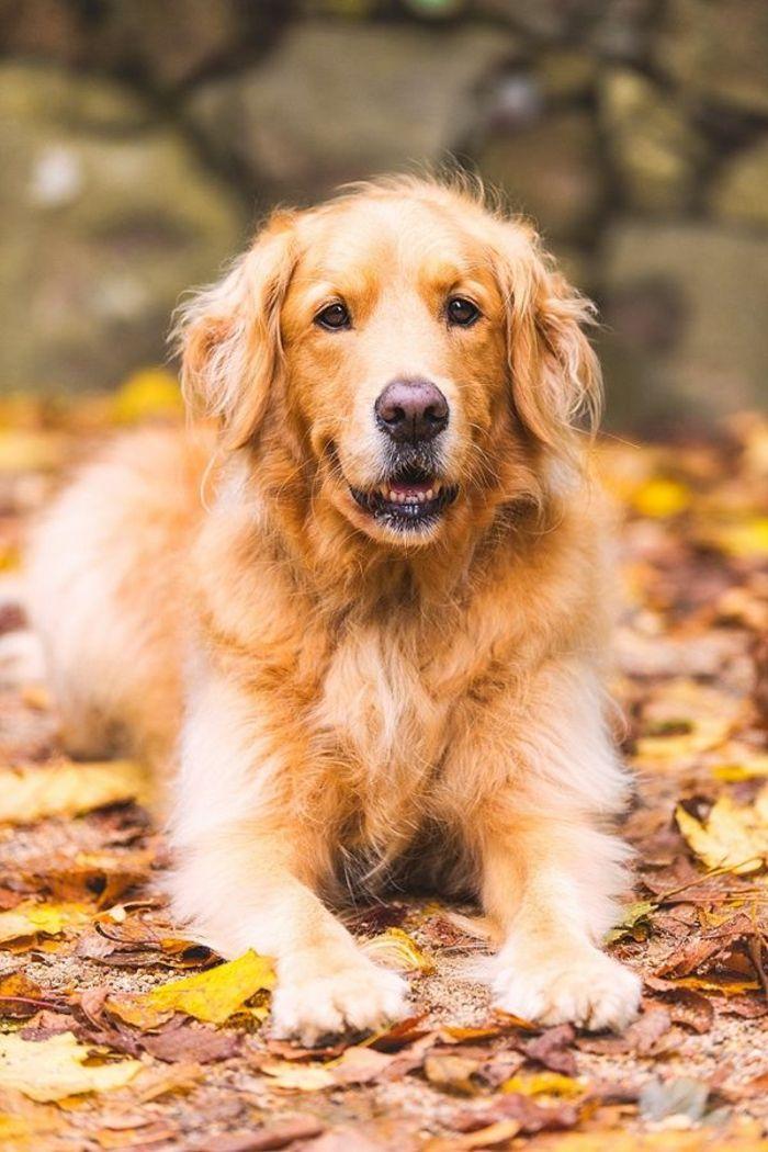 joli chien golden retriver, race de chien taille moyen de couleur beige