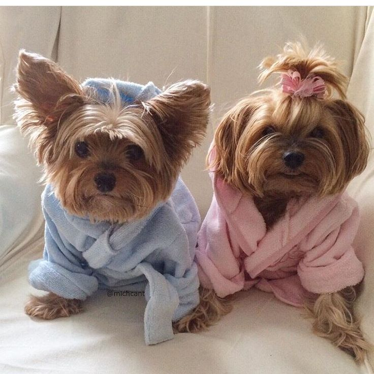 Pin By Daisy Whoo Hoo On Yorkies Cute Baby Animals Cute Animals