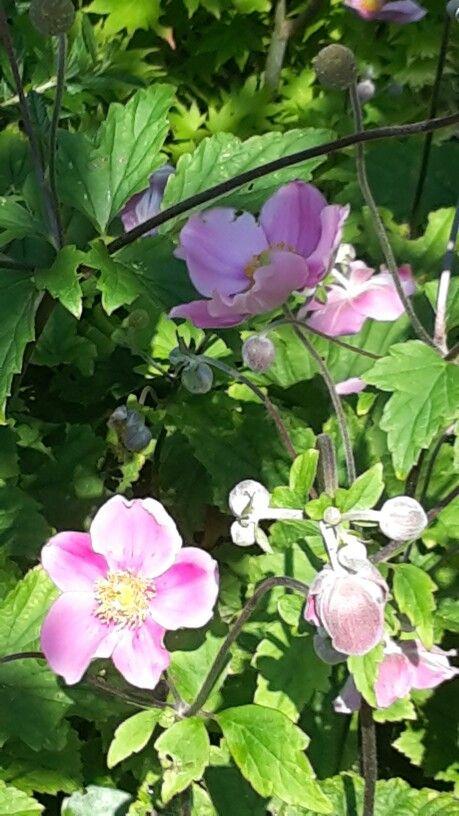Onze anemonen