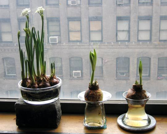 Paper Whites  Ugly Onion Looking Bulbs Turn Into Beautiful Fragrant White  Flowers. Just Starting