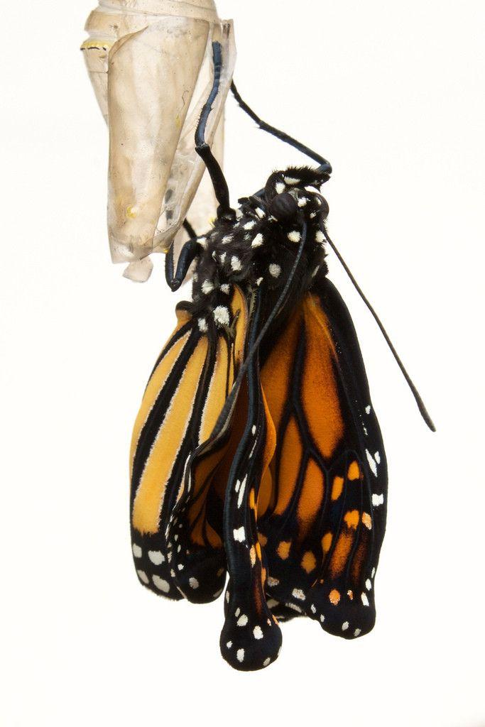Monarch buttery vibrator