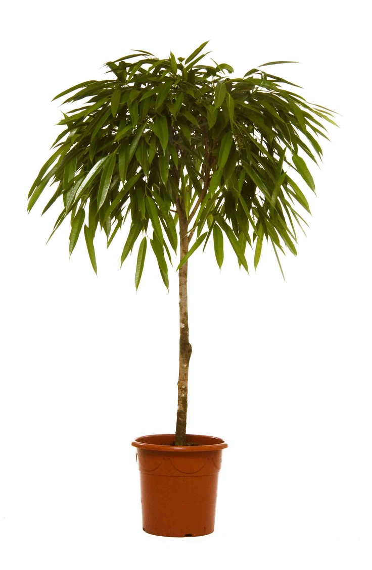 ficus longifolia on stem our top 10 office plants. Black Bedroom Furniture Sets. Home Design Ideas