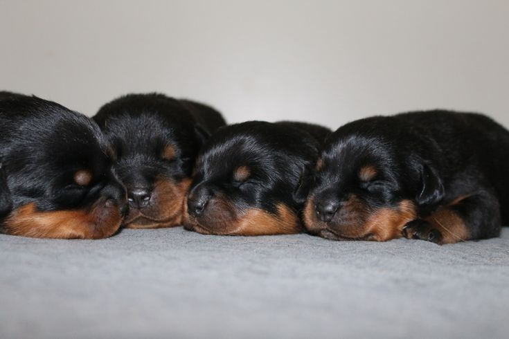 85 besten rottweiler puppies bilder auf pinterest border terrier hundebabys und kunstwerk. Black Bedroom Furniture Sets. Home Design Ideas