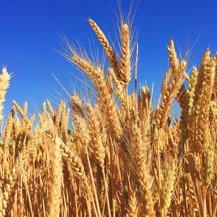 """Barely any barley: """"A 2006 heat wave in Europe saw barley yields drop by a quarter and prices rise by 40 percent which presents problems as in Germany laws restrict breweries from substituting any other grain for barley when making beer.""""   ow.ly/P447304BQTm #Barley #Beer #Germany #Breweries #Europe #HeatWave #Oktoberfest #ClimateNews #Environment #ClimateChange"""