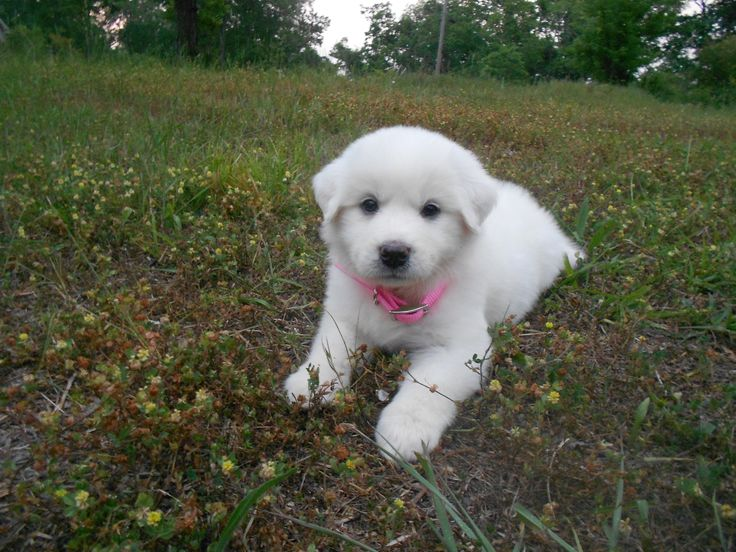 The Great Pyrenees puppies are the dogs preferred by people from this area, because they are specific to the mountains, and for their history. Description from animal-council.blogspot.com. I searched for this on bing.com/images