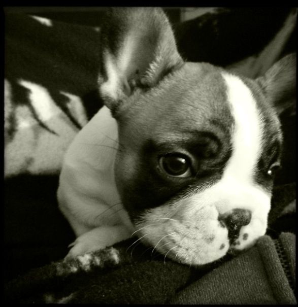 Rocky the 8-week old frenchie :)  by Vicky