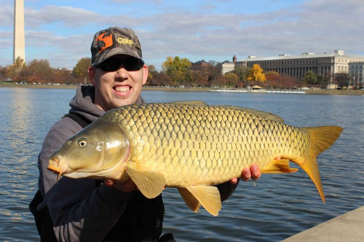 29 Best Common Carp Images On Pinterest Common Carp