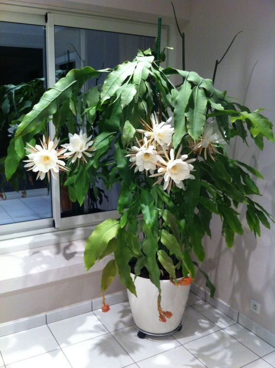 Epiphyllum oxypetalum Learn to grow this fabulous plant https://www.houseplant411.com/askjudy/how-to-care-for-an-epiphyllum-orchid-cactus