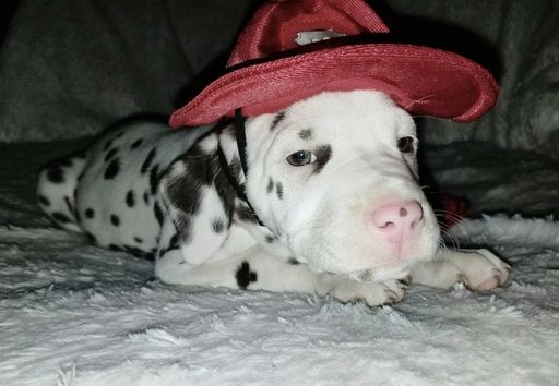 Dalmatian puppy for sale in BEECH GROVE, IN. ADN-30390 on PuppyFinder.com Gender: Female. Age: 7 Weeks Old