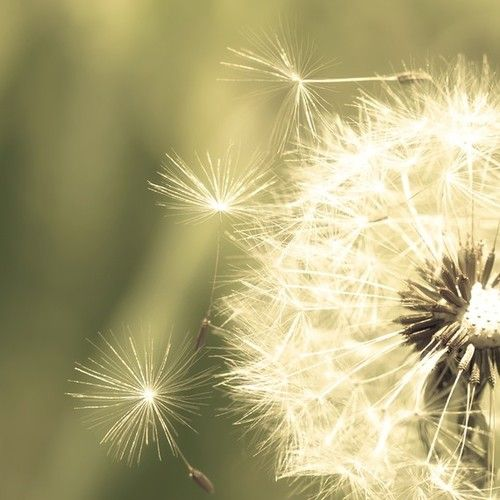 <3 dandelion: Flowers Photography, Green Homes, Black And White, Make A Wish, Shabby Chic, Art Prints, Dandelions Photography, Olives Green, Flying Away