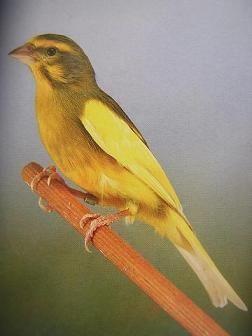 mi aviario - fotos de hibridos