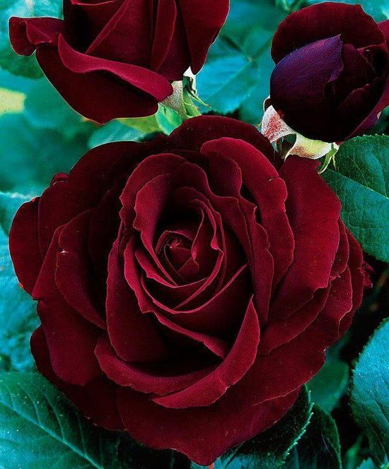 1000 Images About I Want Black Flowers On Pinterest: Deep Red Roses