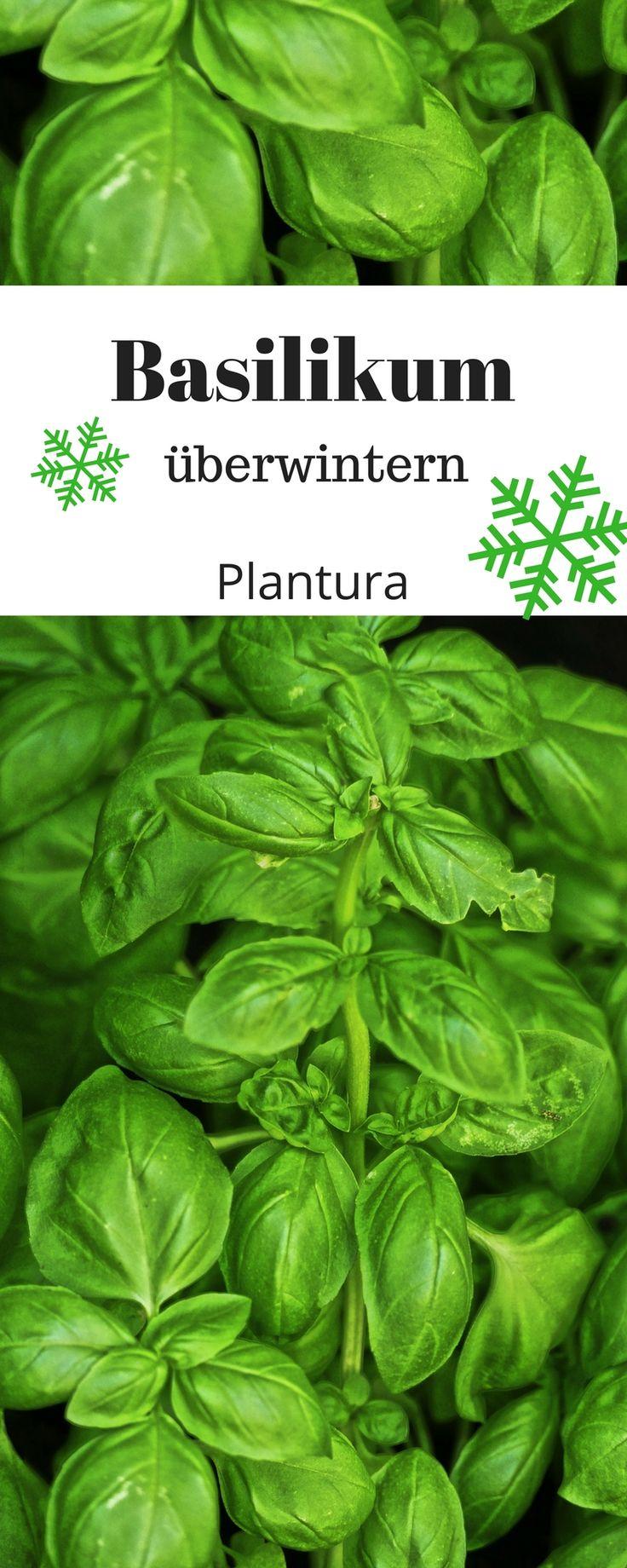 Der frische Basilikum mit seinen leuchtend grünen Blättern kann mit nur wenig Arbeit über den Winter gebracht werden, damit man ihn auch nächste Saison genießen kann.