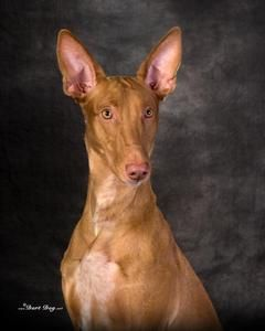 Pharaoh Hound Puppies California