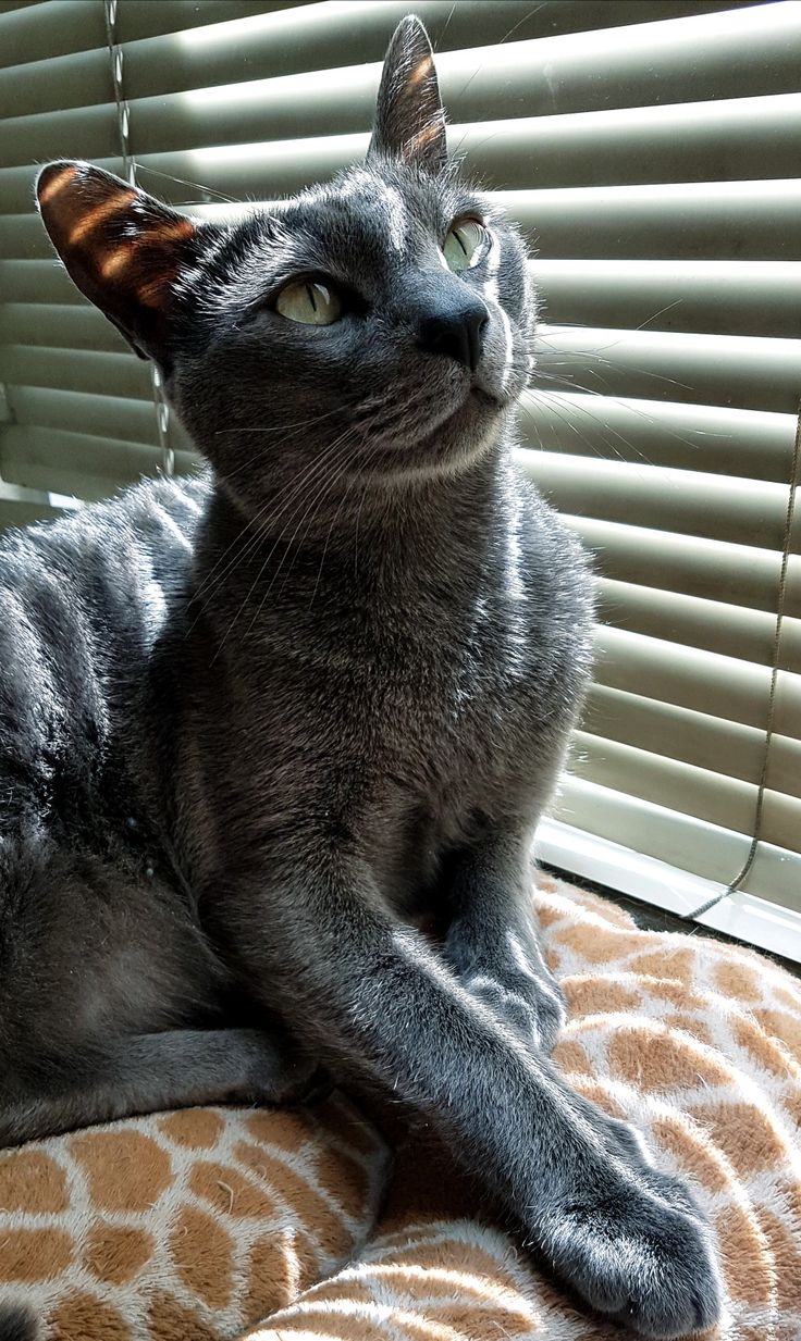 Best 25 British blue cat ideas on Pinterest