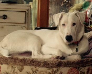 Dog for Adoption inbend Oregon. Winslow a Catahoula mix