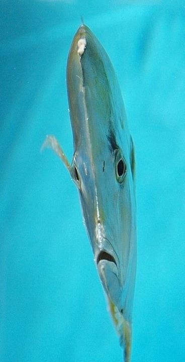 Threadfin Lookdown Fish. Don't tell me God doesn't have a sense of humour!